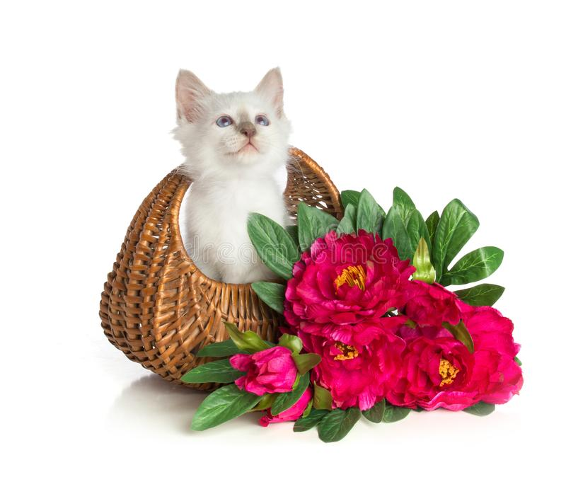 Kitten, sacred Cat of Burma, in basket with flowers. Lovely kitten, sacred Cat of Burma in basket with flowers on white background royalty free stock photos