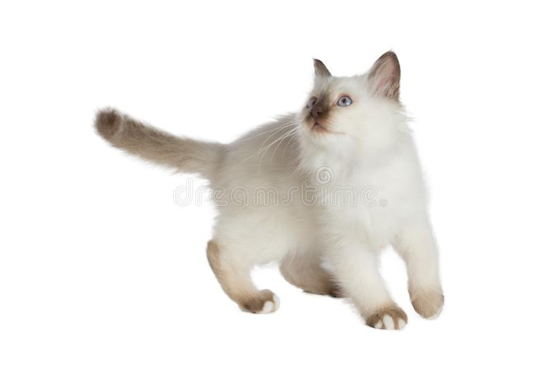 Lovely kitten, sacred Cat of Burma is playing. Lovely kitten, sacred Cat of Burma play on white background stock images