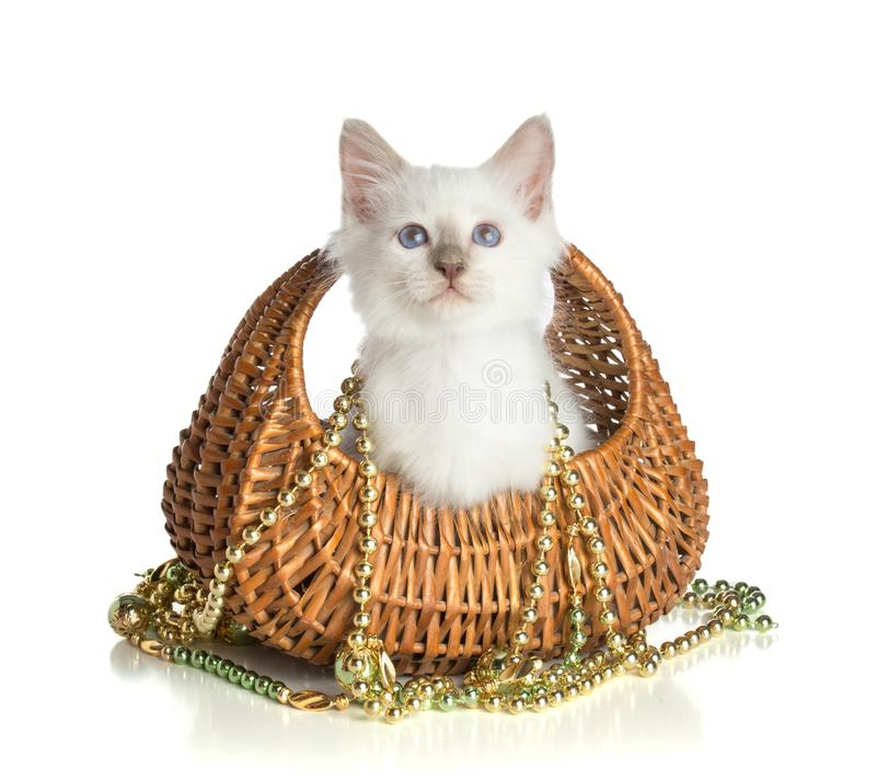 Lovely kitten, sacred Cat of Burma on white background. Lovely kitten, sacred Cat of Burma in basket with a necklace of golden pearls on white background stock photography