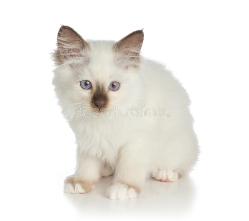 Lovely kitten, sacred Cat of Burma on white background. Lovely kitten, sacred Cat of Burma seems to have not been reassured on white background royalty free stock image
