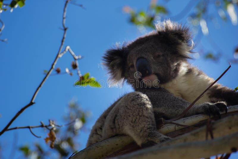 Lovely Koala. One lovely wild koala, on the tree, near the Great Otway National Park stock image