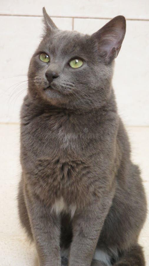 Cute korat cat. In my house royalty free stock photo