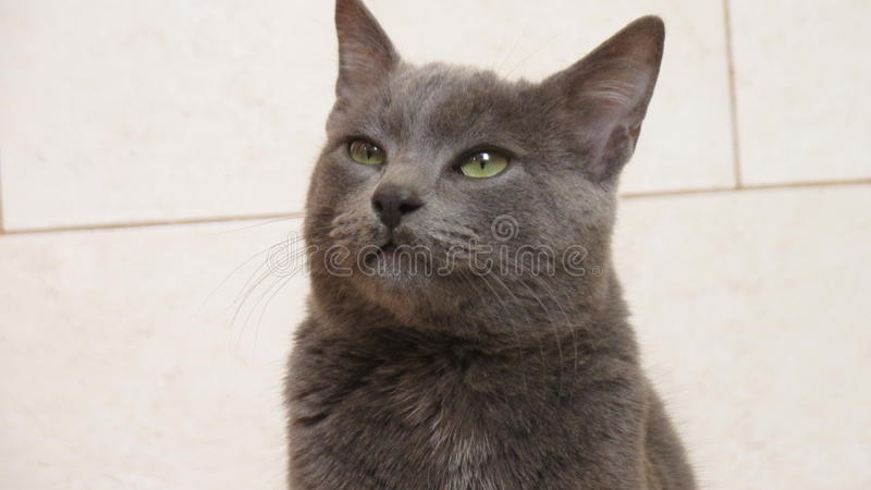 Lovely korat cat. Korat cat in our home royalty free stock images