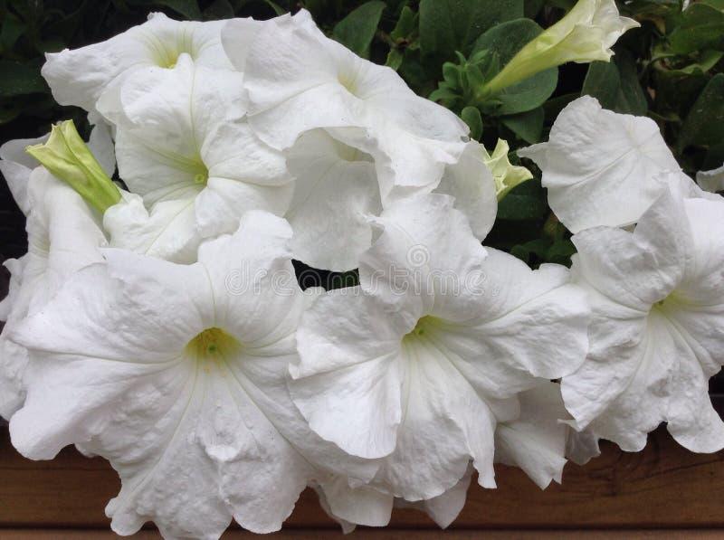 Lovely large white petunias close up photo. royalty free stock photo