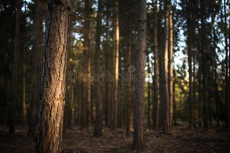 Lovely late summer forest landscape. With warm evening sunlight backlighting the trees stock photo