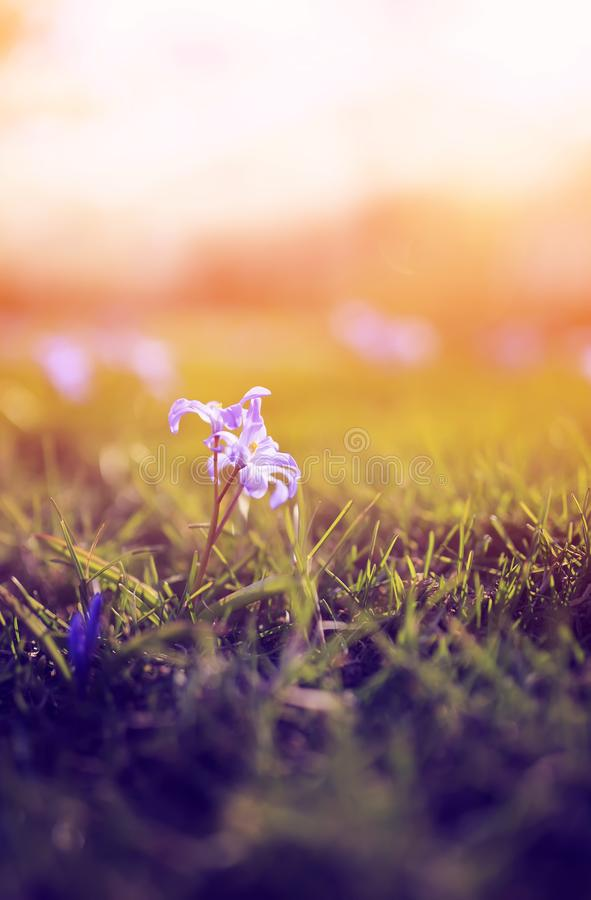 Lovely lilac delicate flowers bloomed under the warm spring rays in the Park. Lovely lilac  flowers bloomed under the warm spring rays in the Park royalty free stock photo
