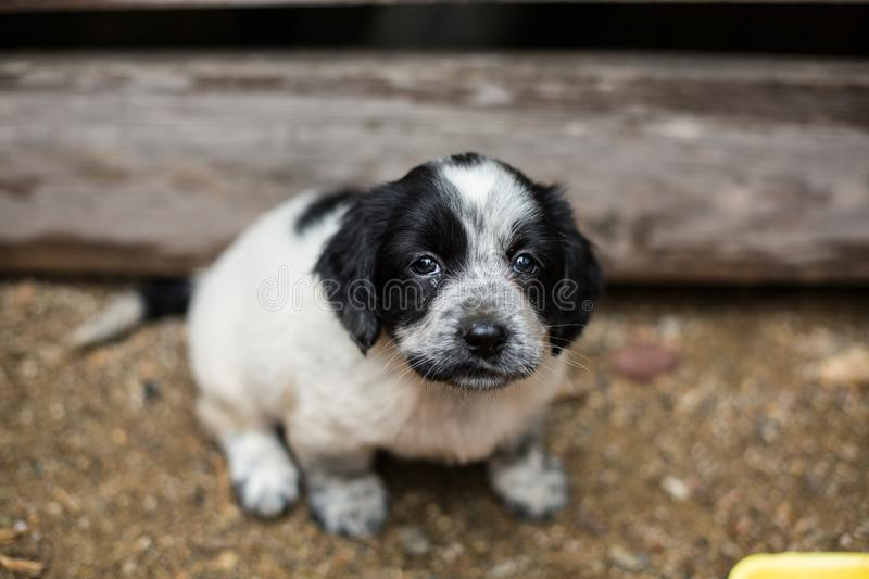 Lovely Little black and white puppy in a wooden box is asking to be adopted with hope. stock photo