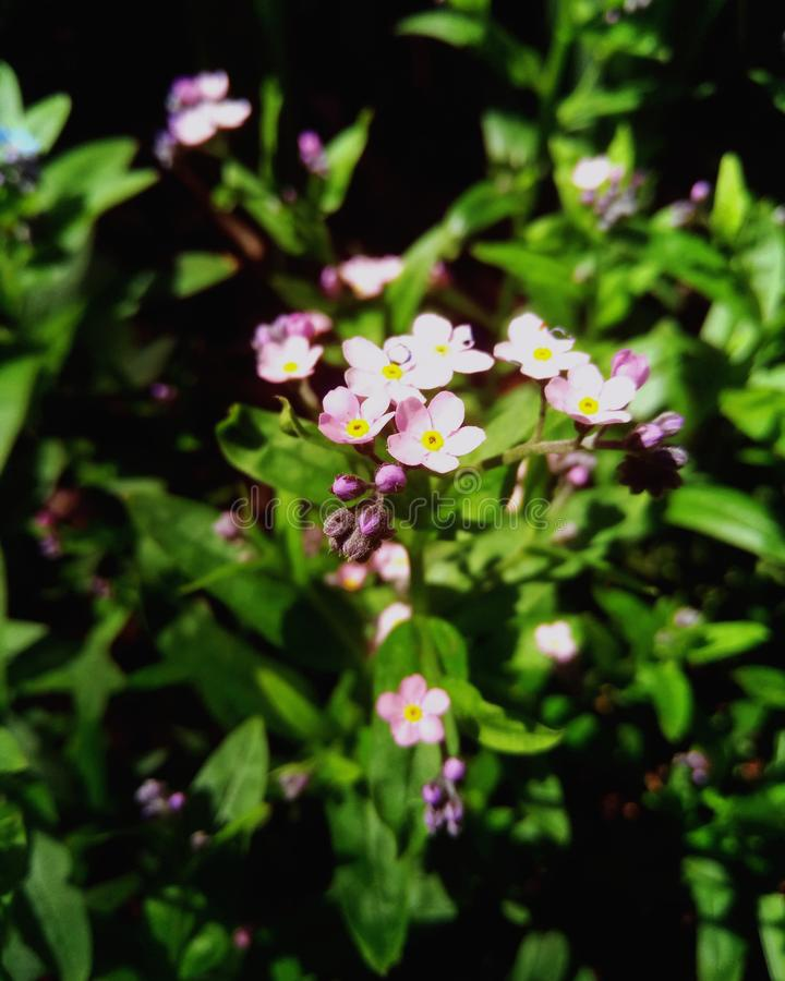 Gentle `Forget-me-nots` in the rays of the morning sun royalty free stock photos