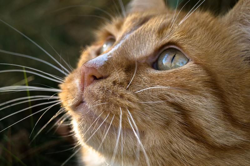 lovely little muzzle of a brooding red cat who dreams about something stock image