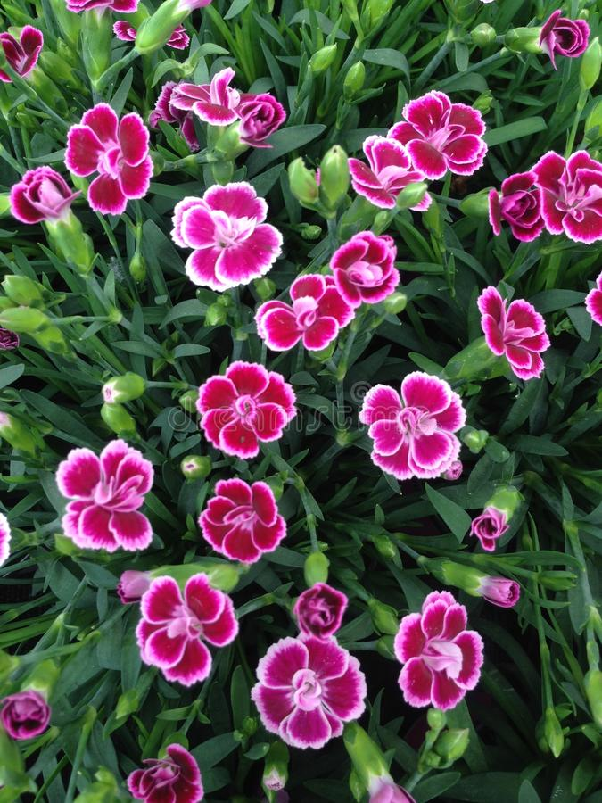 Lovely magenta Dianthus flowers. A field of lovely pink Dianthus flowers and flower buds blossoming during summer royalty free stock images