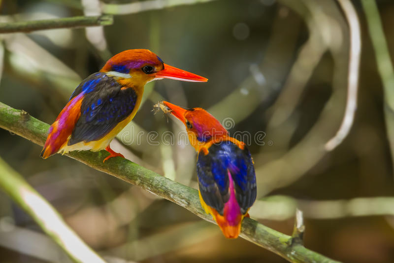 Lovely male Oriental Dwarf Kingfisher. (Ceyx erithaca) feedind insect to his lover in mating season at Kengkrajarn national park,Thailand royalty free stock photos