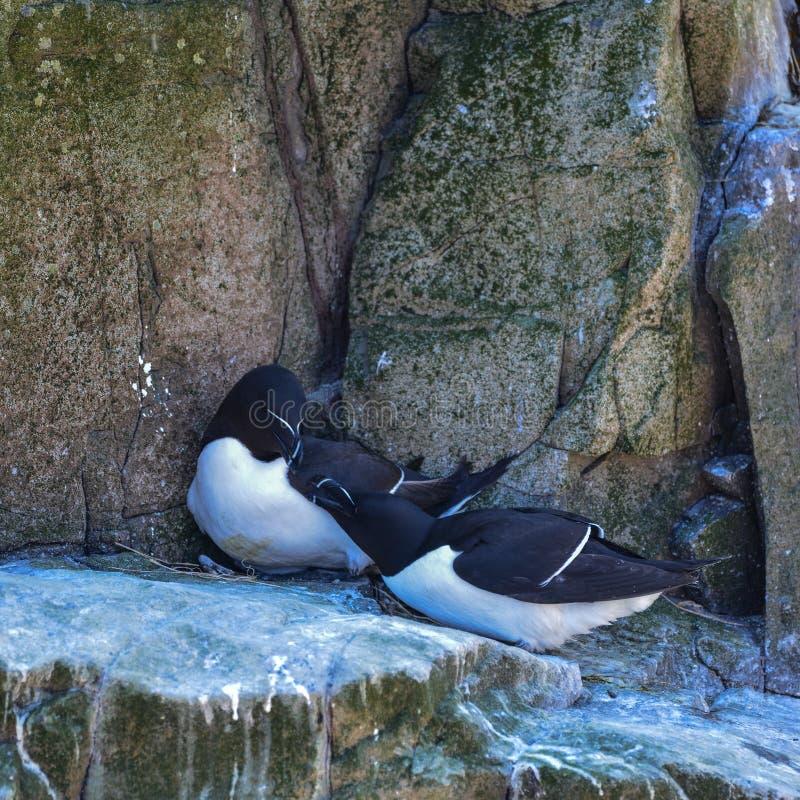 Lovely mated pairs of razorbill birds Alca Torda in Northumberland royalty free stock image