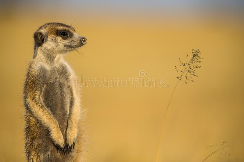 Gweta Meerkat. A lovely meerkat strikes a pose as it keeps watch royalty free stock image