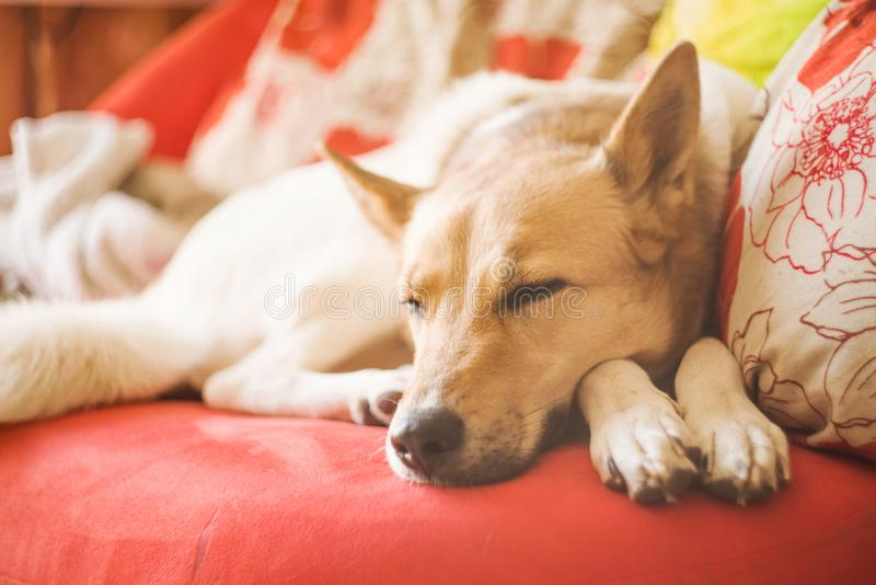 Cute mixed breed white and brown dog laying on a bright sofa at home. Lovely mixed breed huski and shepherd dog sleeping on an orange sofa indoors royalty free stock photos
