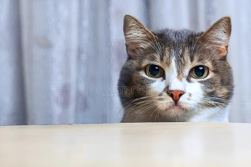 A lovely, moustached cat with big round eyes is looking out from behind the table and looking directly into the camera. Close-up stock photo