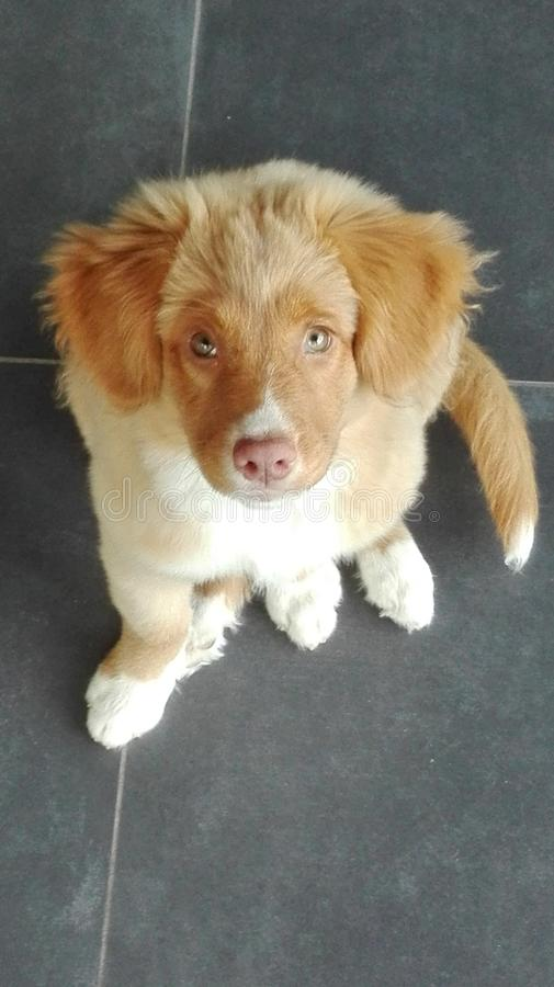 Lovely Nova Scotia duck tolling retriever royalty free stock images