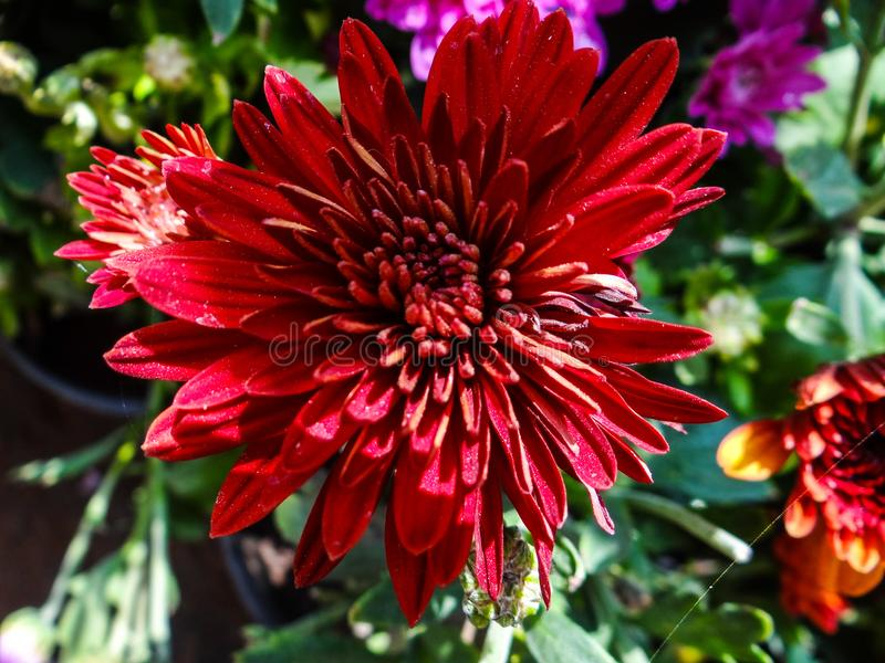 LOVELY ORANGE-COLOURED CRYSANTHEMUM. Crysanthemum flowers are very attractive and charming. They add to a very great beauty and their photos can be used for royalty free stock images