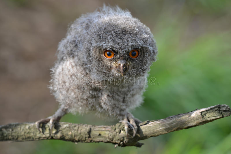 Download A lovely owl stock photo. Image of staring, eyes, black - 31450898