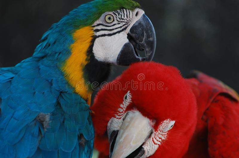 A pair of loving macaws. A lovely pair of Macaws in the wild. Big and lovely royalty free stock image