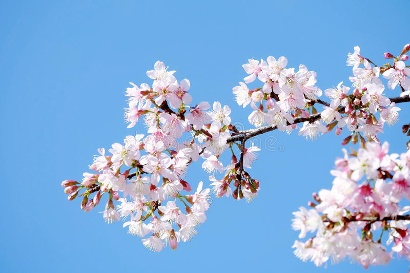 Lovely pale pink sakura on blue sky background royalty free stock images