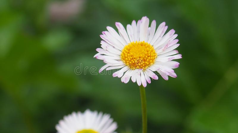 A lovely perfect white flower. Lovely perfect pink flower nature whi whit white stock photography