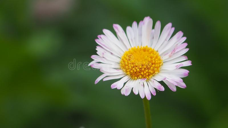 A lovely perfect white flower. Lovely perfect pink flower nature whi whit white stock photo