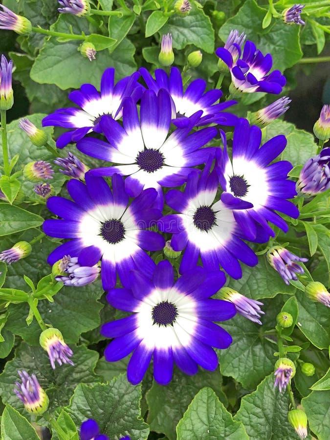 Dark blue Pericallis Senetti Daisy flowers. Lovely Pericallis Senetti Daisy flowers with dark blue and white petals stock image