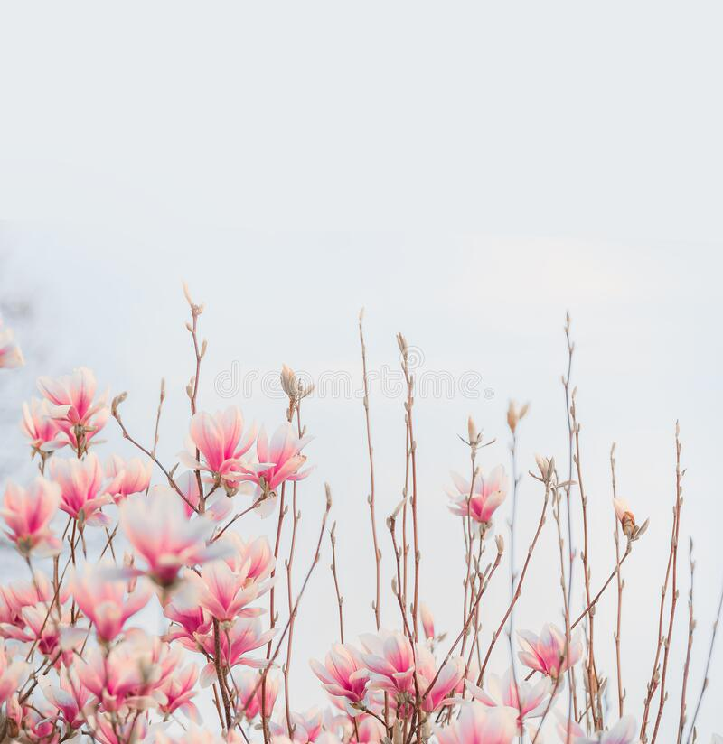 Lovely pink blooming of magnolia . Springtime nature. Spring blossom stock image