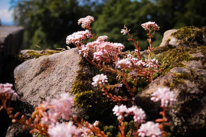 Lovely pink flowers on the rock stock photo