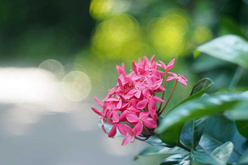 Lovely pink Ixora flower stock images