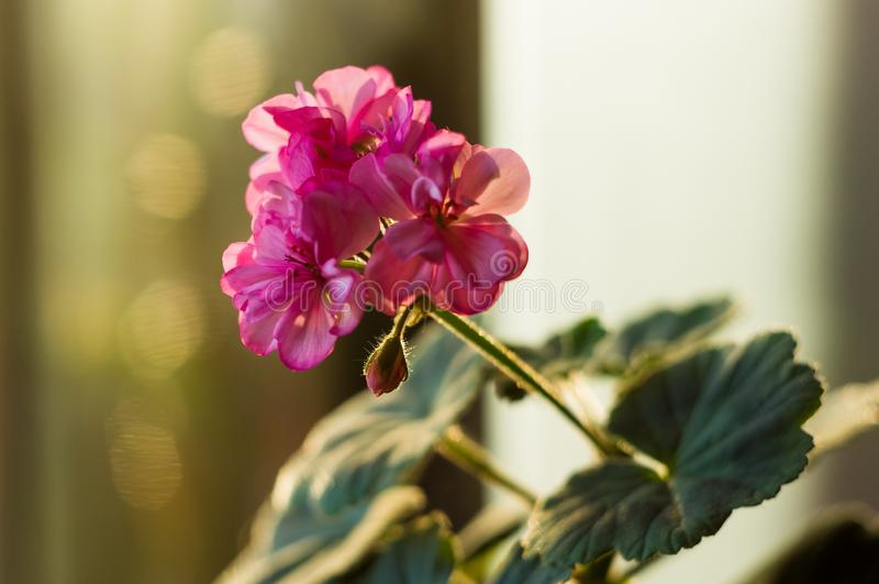 Lovely pink Pelargonium Geranium flowers, close up. Soft focus stock image