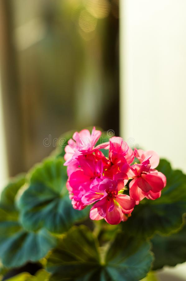 Lovely pink Pelargonium Geranium flowers, close up. Soft focus royalty free stock photos