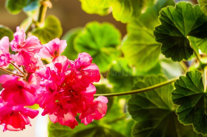 Lovely pink Pelargonium Geranium flowers, close up. Soft focus stock photography