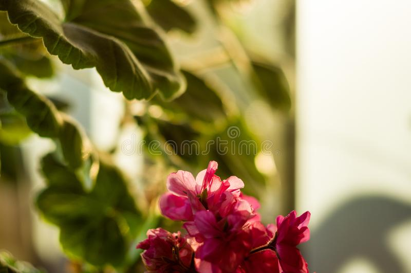 Lovely pink Pelargonium Geranium flowers, close up royalty free stock photos