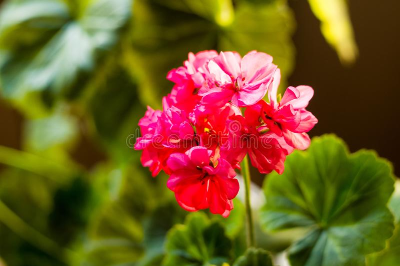 Lovely pink Pelargonium Geranium flowers, close up. Soft focus stock photos