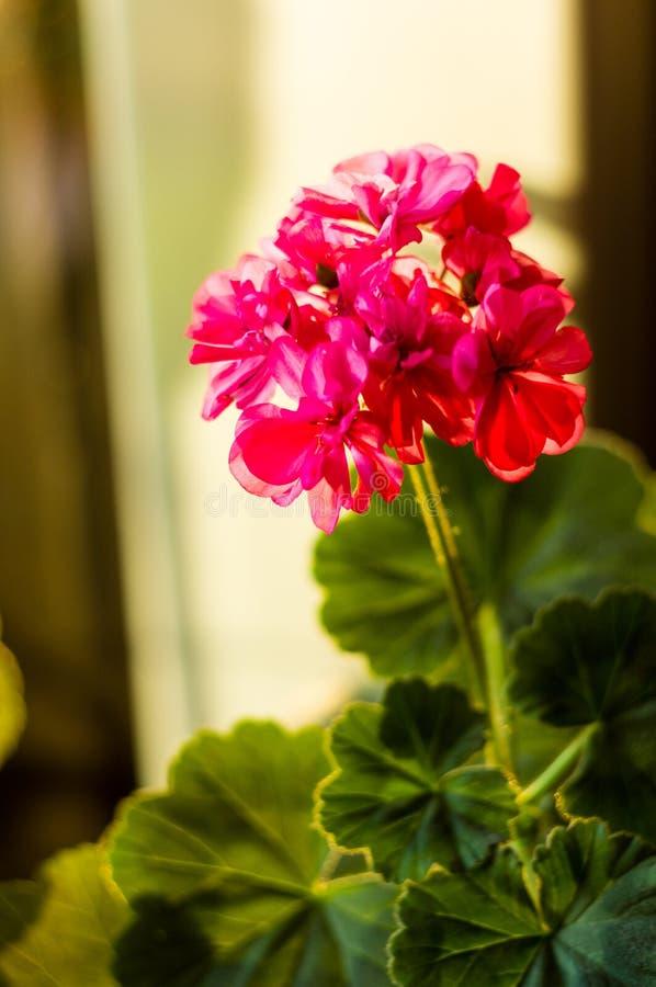 Lovely pink Pelargonium Geranium flowers, close up. Soft focus stock images