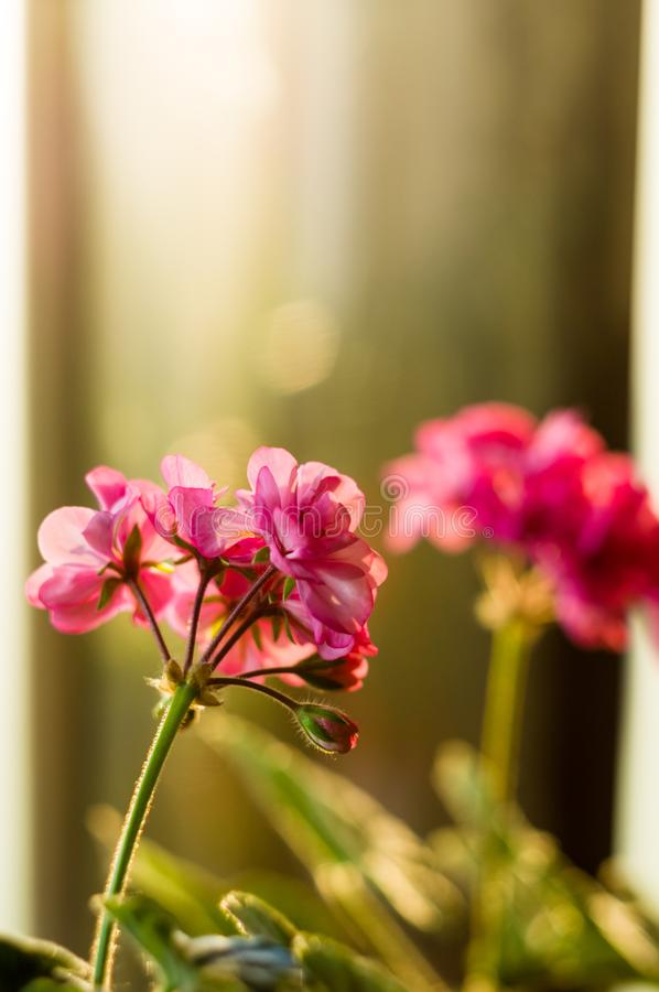 Lovely pink Pelargonium Geranium flowers, close up stock image