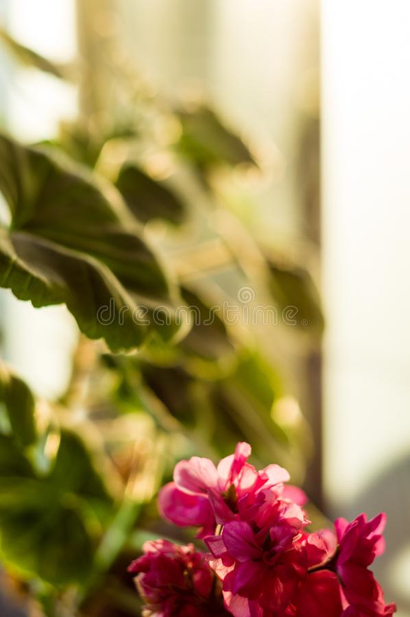 Lovely pink Pelargonium Geranium flowers, close up stock photos