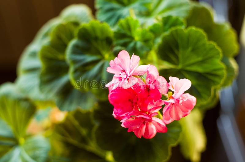 Lovely pink Pelargonium Geranium flowers, close up royalty free stock images