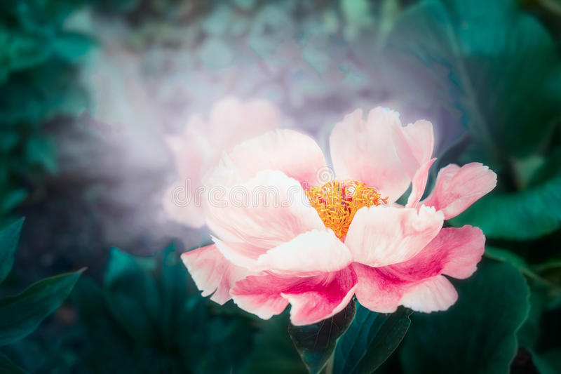 Lovely pink peonies flowers with lighting. Dreamy floral. Background royalty free stock photos