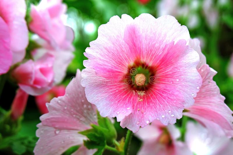 Lovely Pink Summer Flower Blooming stock images