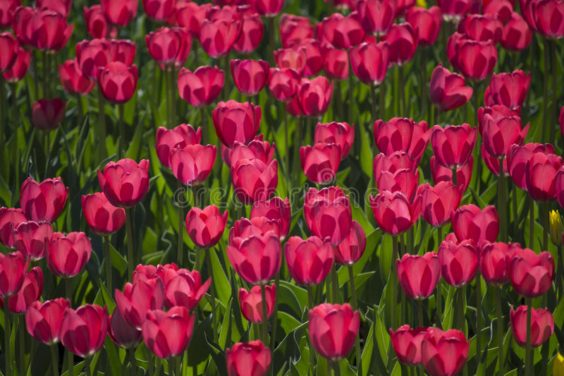 Lovely pink tulips stock photo