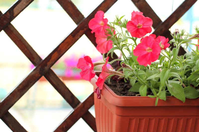 Lovely pink, white, purple, petunia flowers in pots stock image