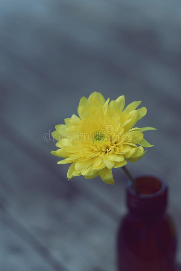 Lovely yellow blossom chrysanthemum in vase on wooden table with white wall background, still life concept royalty free stock photo