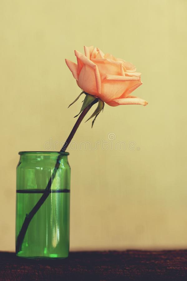 Lovely pinky blossom rose in vase on wooden table with white wall background, still life concept stock photography