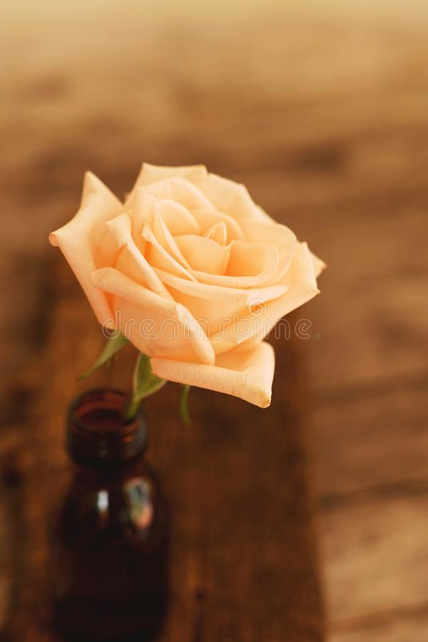 Lovely pinky blossom rose in vase on wooden table with white wall background, still life concept stock images