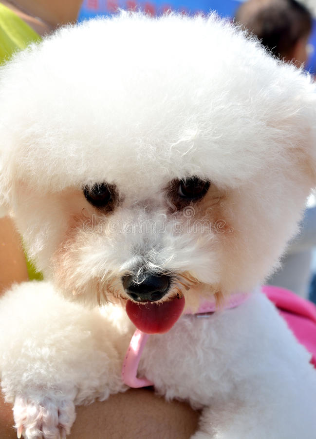 Lovely poodle dog with people royalty free stock photo