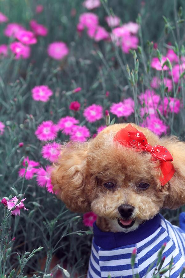 Lovely poodle dog. In sunny day in summer among the pink flowers royalty free stock images