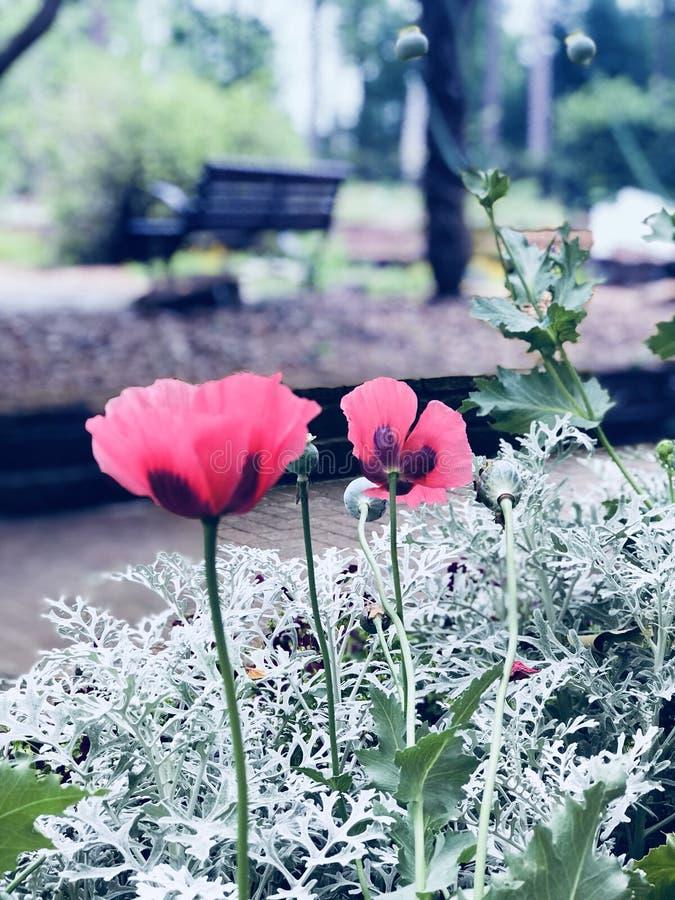 Beautiful Poppy stock images