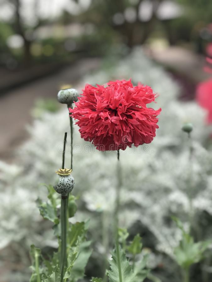 Lovely Poppy royalty free stock photography